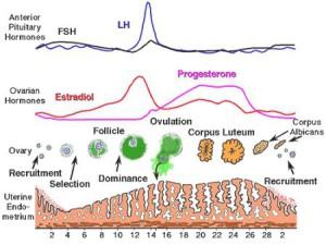 hormonale-cyclus